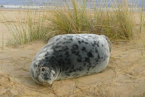 Norfolk Coast Seals